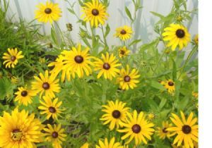 26,000 Black Eyed Susan Seeds