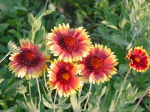 2,000 Blanketflower seeds
