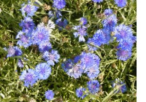 1600 Blue Bachelor Button Seeds