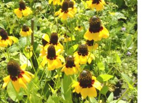 4,700 Clasping coneflower seeds