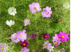 1,400 Cosmos sensation seeds