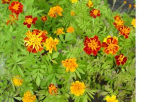 1,000 French marigold seeds