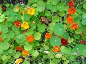 50 Nasturtium Dwarf Jewel mix of seeds