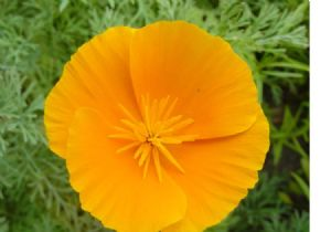 3,600 Orange California poppy seeds