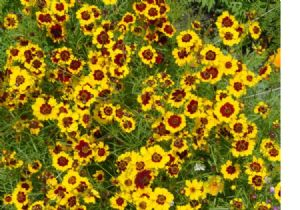 10,000 Plains coreopsis seeds