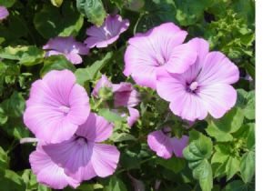 1,100 Rose mallow seeds