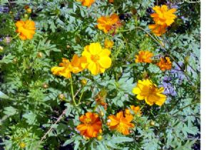 700 Sulphur cosmos mix seeds