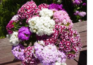 2,700 Mostly Pink Sweet William seeds
