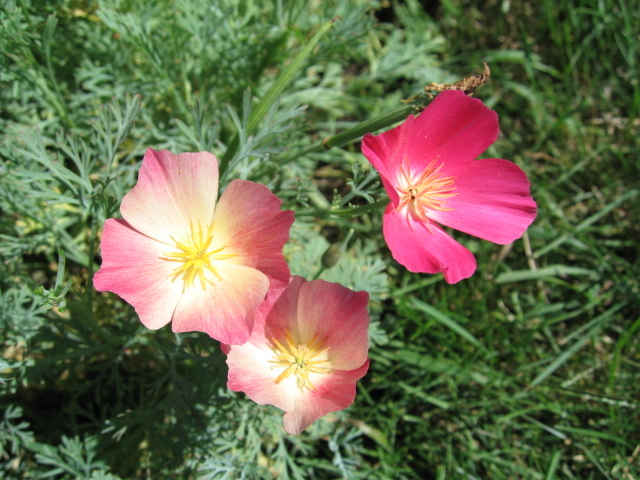 3600 California poppy carmine king seeds
