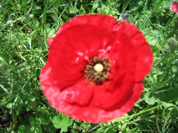 30,000 Red corn poppy seeds