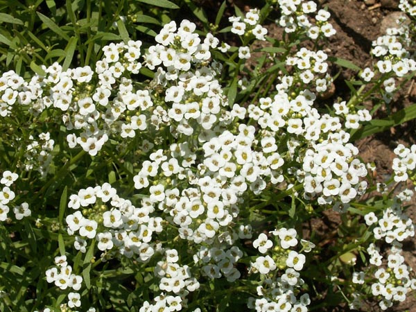 8,700 Sweet alyssum seeds
