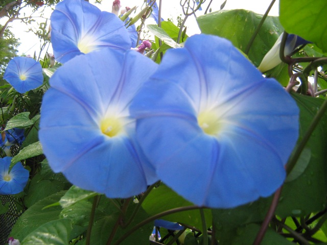 100 Morning glory heavenly blue seeds