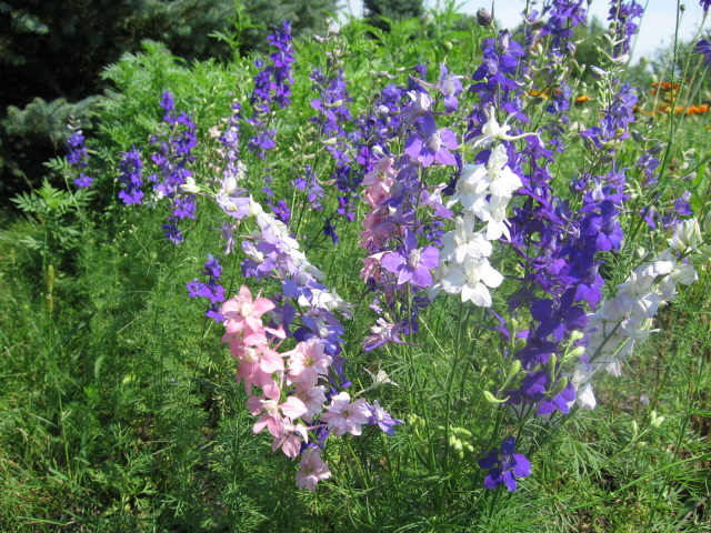 1,200 Rocket larkspur seeds