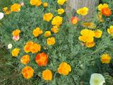 3,600 California poppy seed mix