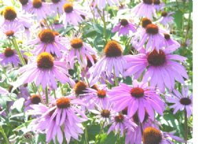 One Pound of Purple Coneflower Seeds.