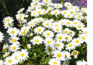 One Pound Shasta Daisy Seeds