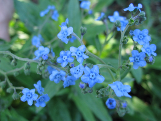 One Pound of Chinese Forget Me Not Seeds