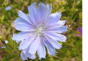 One Pound Chicory Seeds.
