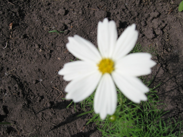 Dwarf White Cosmos seeds