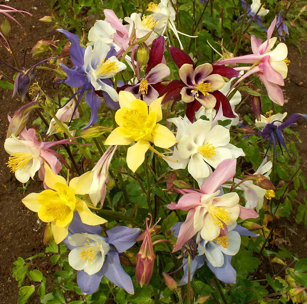 1,000 Giant Columbine Mix