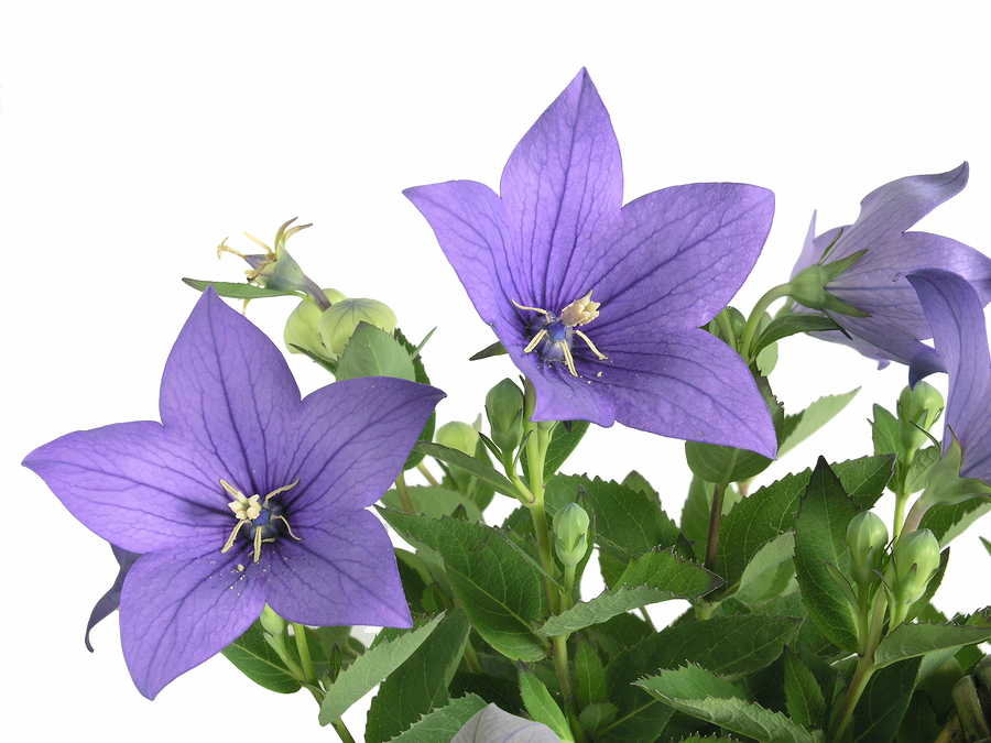 40,000 Seeds Bellflower Tussock