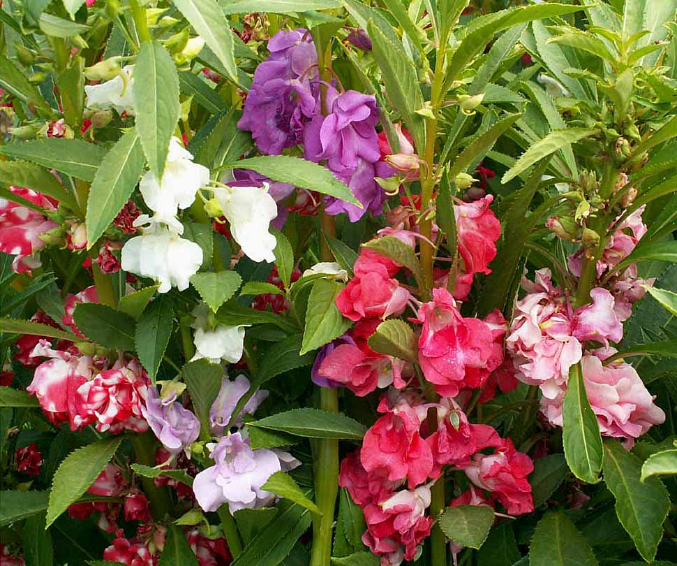 350 Impatiens Balsamina Mixed Colors