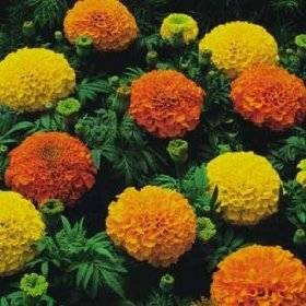 700 African Marigold Crackerjack Seeds