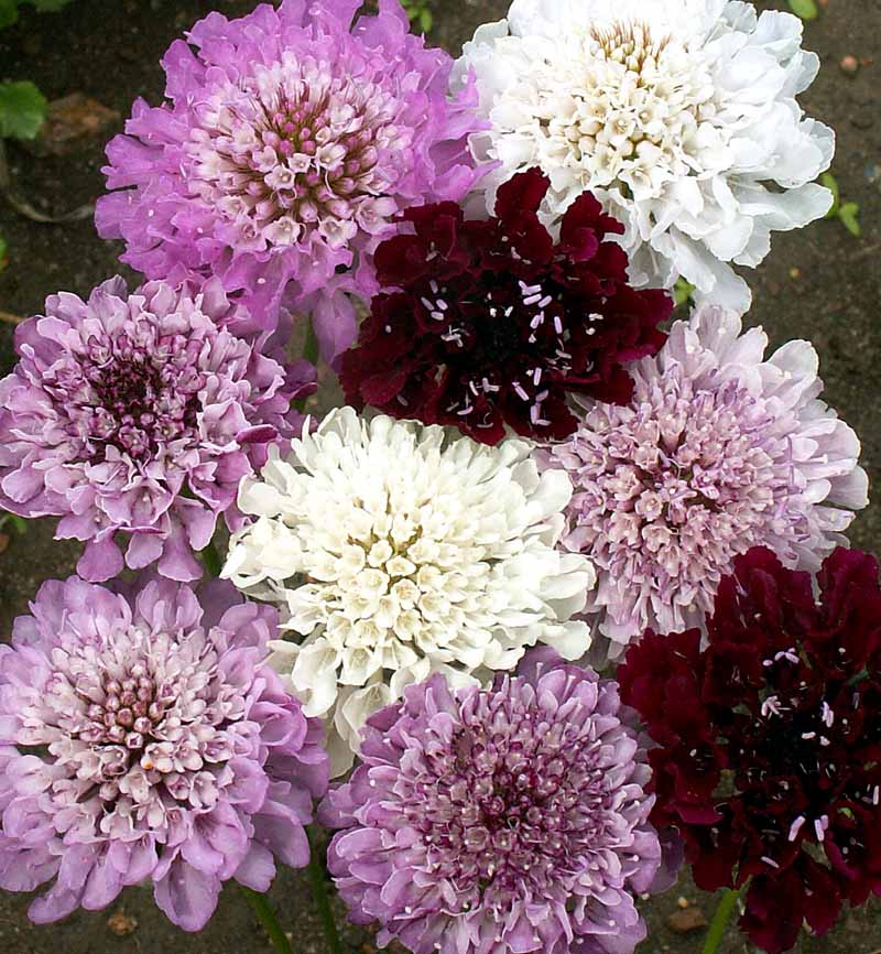 300 Pincushion Flowers