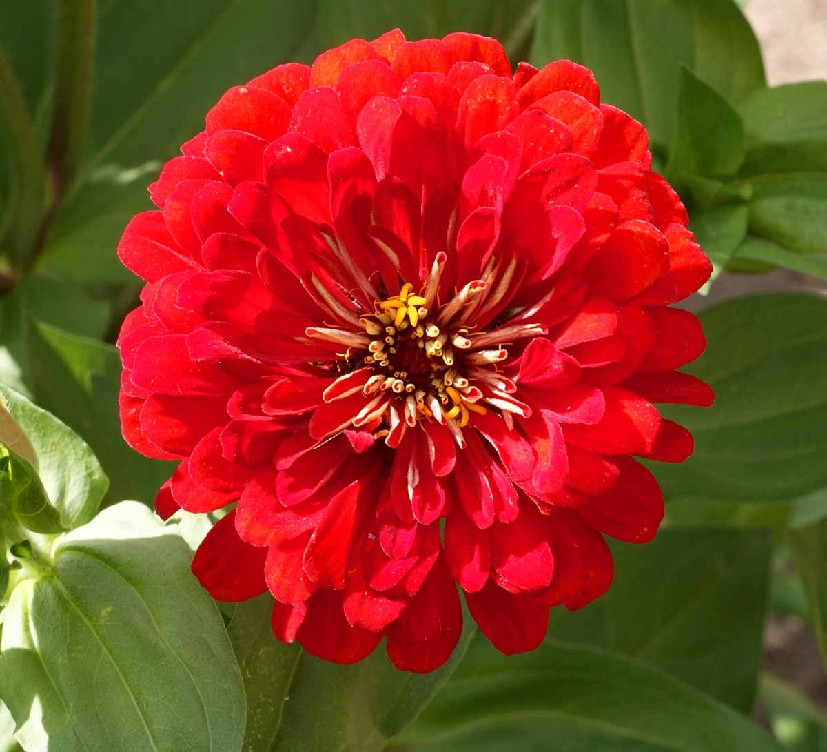 400 Zinnia Cherry Queen Seeds
