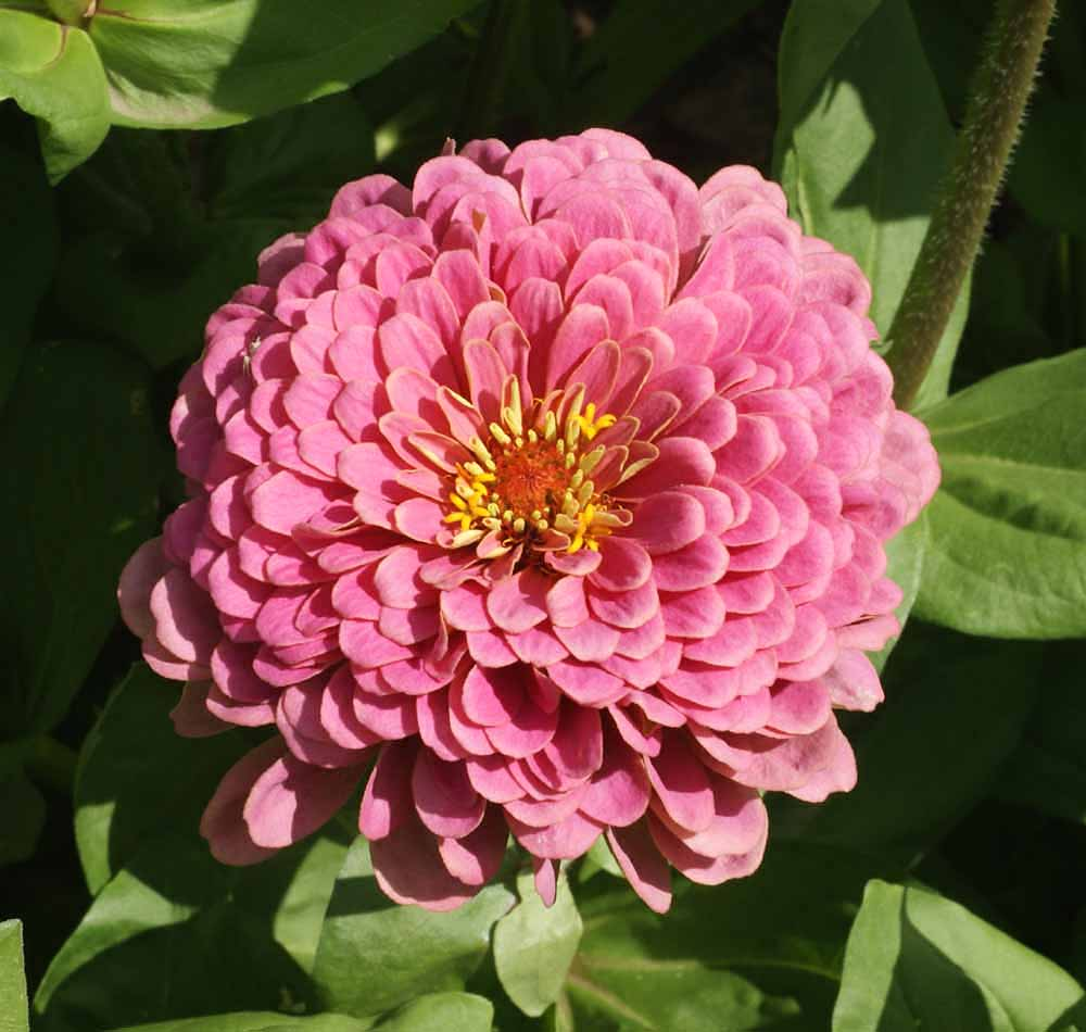 400 Zinnia Luminosa  Pink Seeds