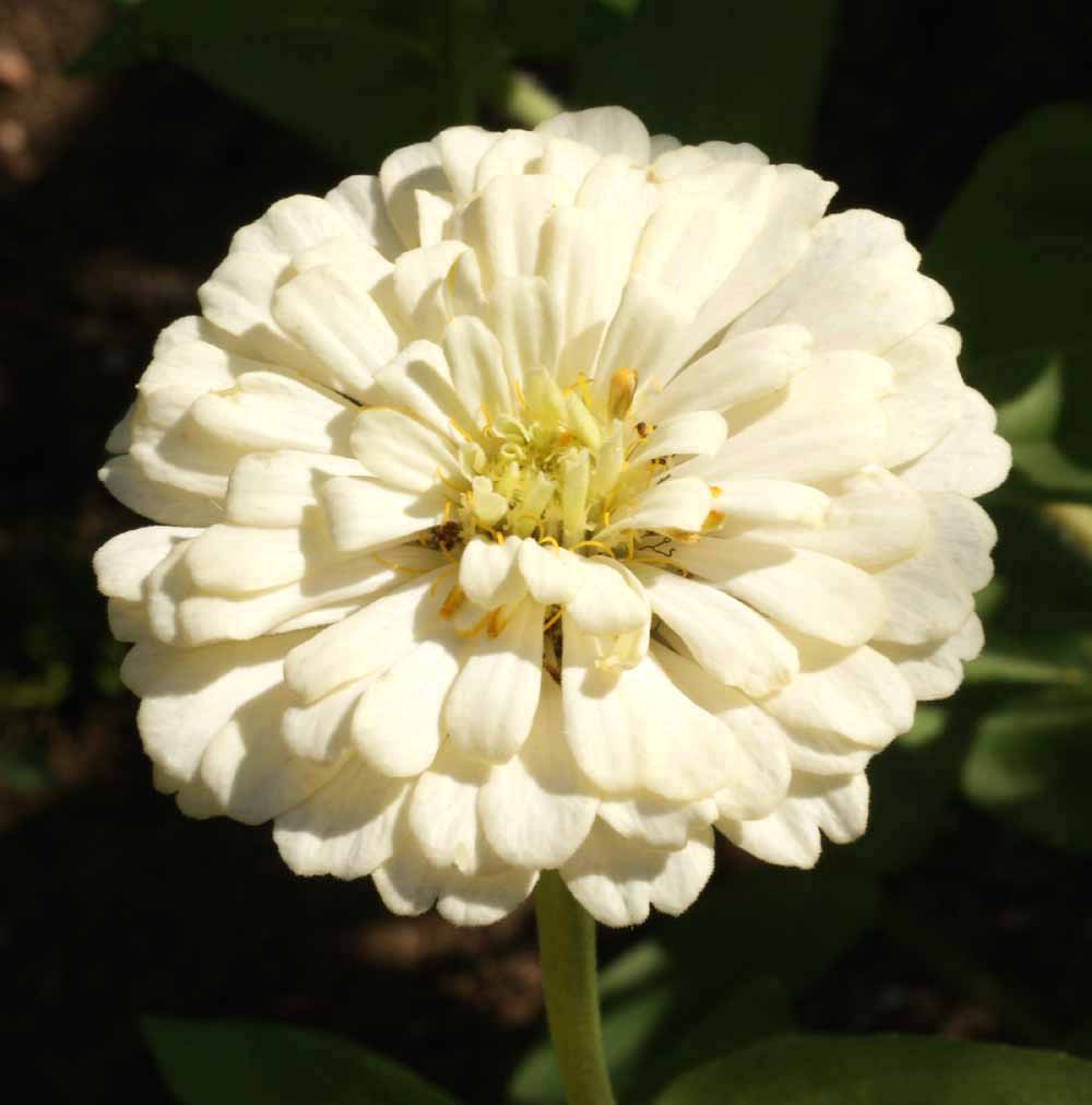 400 Zinnia Polar Bear Seeds