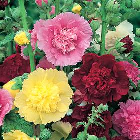 100 Hollyhock Summer Carnival Mix Seeds