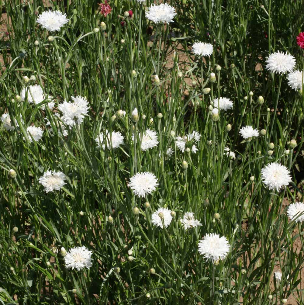 1600 White Bachelor Button Seeds