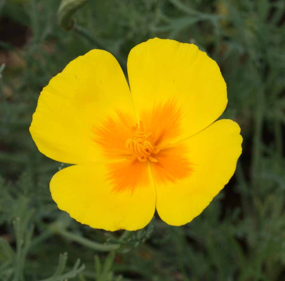 3,600  California Poppy Golden West Seeds