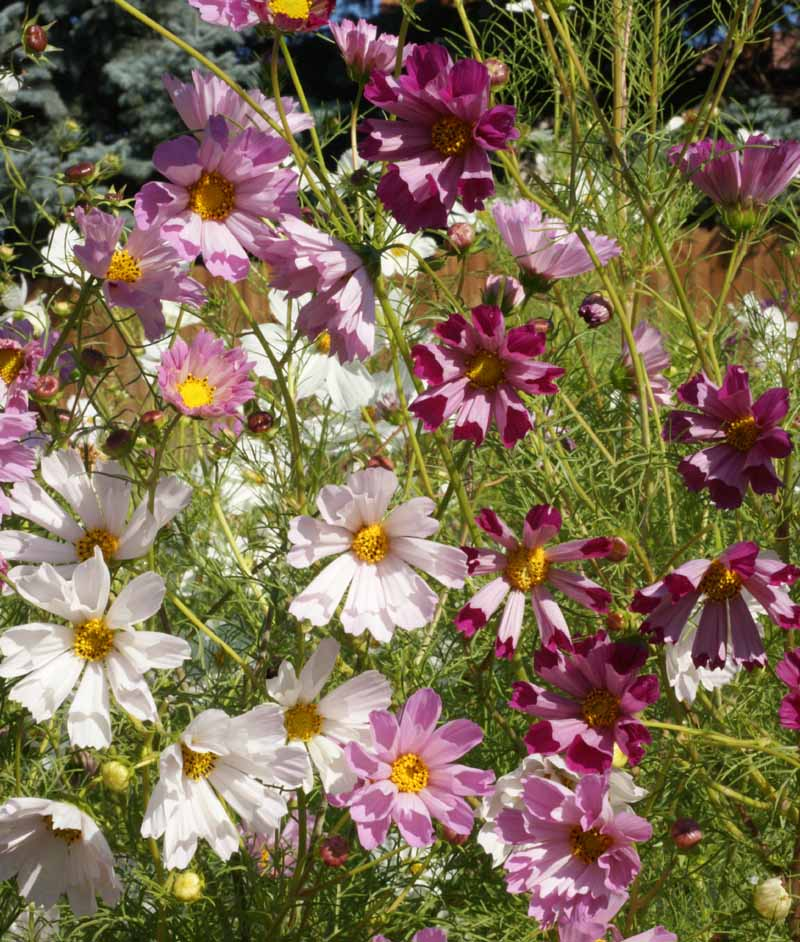 1,200 Cosmos Sea Shells Seed mix