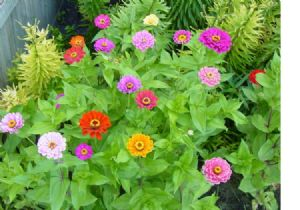 500 Zinnia California giant mix